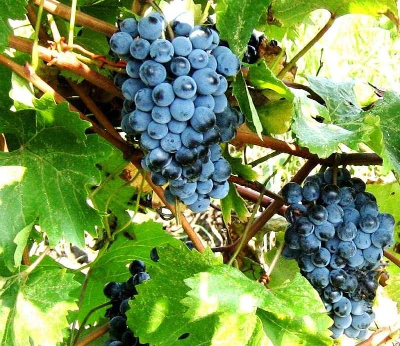 сорт винограда юодупе фото что подборка